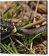 British Grass Snake Canvas Print