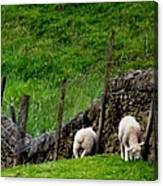 British Lamb Canvas Print