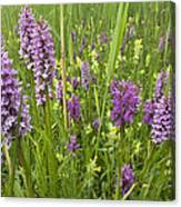 Broad-leaved Marsh Orchid Dactylorhiza Canvas Print