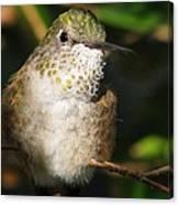 Broadbill Hummingbird Canvas Print