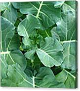 Broccoli Floret Forming Canvas Print