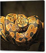 Brown And Black Snake Canvas Print