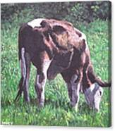 Brown And White Cow Eating Grass Canvas Print