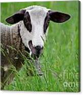 Brown And White Sheep Canvas Print