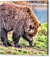 Brown Bear 201 Canvas Print