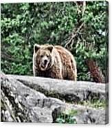 Brown Bear 209 Canvas Print