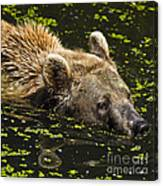 Brown Bear Swimming Canvas Print