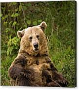 Brown Bear Ursus Arctos, Asturias, Spain Canvas Print