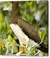 Brown Booby Sula Leucogaster Canvas Print