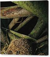 Brown-breasted Hedgehog Erinaceus Canvas Print