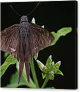 Brown Butterfly Dorantes Longtail Canvas Print