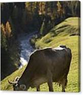 Brown Cow Alps Canvas Print