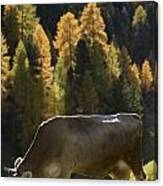 Brown Cow In Valle Lunga Canvas Print