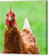 Brown Hen On A Lawn Canvas Print