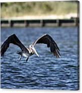 Brown Pelican - Low Flyer Canvas Print