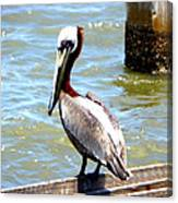 Brown Pelican And Blue Seas Canvas Print