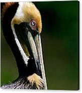 Brown Pelican Profile Canvas Print