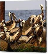 Brown Pelicans - Beauty Of Sand Island Canvas Print
