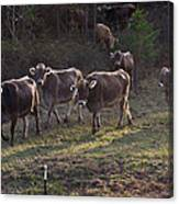 Brown Swiss Cows Coming Home Canvas Print