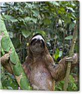 Brown Throated Three Toed Sloth Male Canvas Print