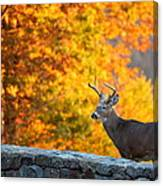 Buck In The Fall 06 Canvas Print
