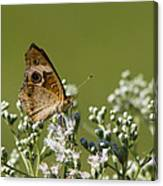 Buckeye Butterfly And Lesser Snakeroot Wildflowers Canvas Print
