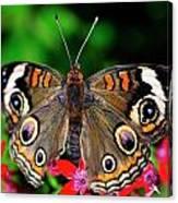 Buckeye Buttterfly Canvas Print