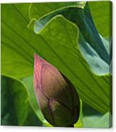Bud Watched Over Dl050 Canvas Print