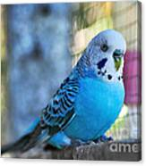 Budgerigar - Parakeet Canvas Print