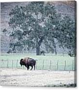 Buffalo And An Oak Tree Canvas Print