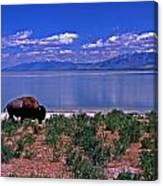 Buffalo And The Great Salt Lake Canvas Print