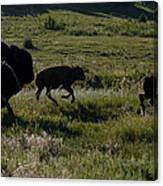 Buffalo Bison Roaming In Custer State Park Sd.-1 Canvas Print