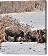 Buffalo Braving The Winter Cold Canvas Print