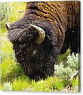Buffalo Grazing Canvas Print