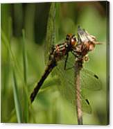 Bug Eyed Dragon Fly Canvas Print
