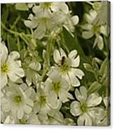 Bug On White Blooms Canvas Print
