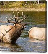Bugling Bull Elk And 2 Female Cows In Estes Lake  Co Canvas Print