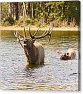 Bugling Bull Elk And Calf Colorado Rut 4 Canvas Print