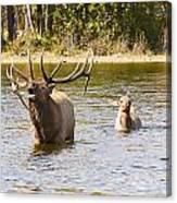 Bugling Bull Elk And Calf Colorado Rut 5 Canvas Print