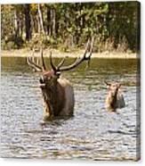 Bugling Bull Elk And Calf Colorado Rut  Canvas Print