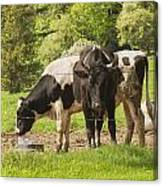 Bull And Cows Grazing On Grass In Farm Maine Canvas Print