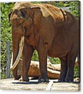 Bull Elephant Canvas Print