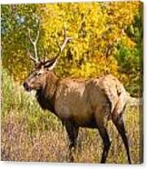 Bull Elk Autum Portrait Canvas Print