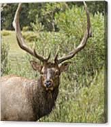 Bull Elk Eyes Canvas Print
