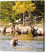 Bull Elk Watching Over Herd 4 Canvas Print