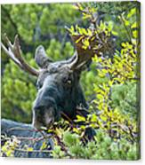 Bull Moose At Dusk Canvas Print