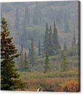 Bull Moose In Alaska Canvas Print