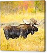 Bull Moose In Autumn Canvas Print