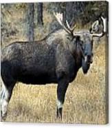 Bull Moose, Peter Lougheed Provincial Canvas Print