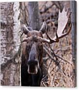 Bull Moose Stare Down Canvas Print
